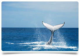 Humpback Whale tail in Queensland Australia
